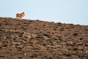 Onager (Equus hemionus), female and young in dry rocky environment, Negev desert, Israel, May.  -  Fabio Pupin