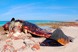 Sperm whale (Physeter macrocephalus), dead on the shore, Socotra island, Yemen, January. Non-ex.  -  Fabio Pupin