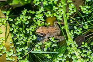 Common froglet (Rana temporaria) recently metamorphosed from a tadpole with a tadpole. London, UK  -  Georgette Douwma