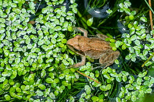 Common froglet (Rana temporaria) recently metamorphosed from a tadpole. London, UK  -  Georgette Douwma