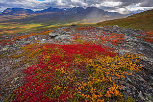 Red leaves of Alpine bearberry (Arctostaphylos / Arctuo alpinus) view from Nuolja or Njulla mountain, Abisko National Park, Norrbotten, Lapland, Sweden September 2020  -  Staffan Widstrand