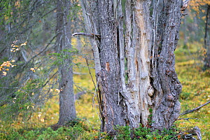 Old Salix or Goat willow tree trunk (Salix caprea) in the pine forest, Muddus National Park, Laponia UNESCO World Heritage Site, Norrbotten, Lapland, Sweden September 2020  -  Staffan Widstrand