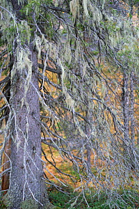 Norway spruce tree (Picea abies) covered in Alectoria sarmentosa lichens, Muddus National Park, Laponia UNESCO World Heritage Site, Norrbotten, Lapland, Sweden September 2020  -  Staffan Widstrand