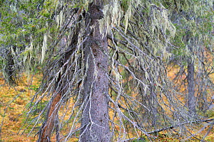 Norway spruce (Picea abies) covered in Alectoria sarmentosa lichens, Muddus National Park, Laponia UNESCO World Heritage Site, Norrbotten, Lapland, Sweden September 2020  -  Staffan Widstrand