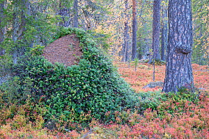 Huge ant hill, predated upon by a bear, now covered in Lingonberry (Vaccinium vitis-idaea) bush. Old-growth pine forest, Muddus National Park, Laponia UNESCO World Heritage Site, Norrbotten, Lapland,...  -  Staffan Widstrand