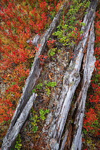Tree trunk slowly decomposing, possibly over several hundred years. Old-growth pine forest, Muddus National Park, Laponia UNESCO World Heritage Site, Norrbotten, Lapland, Sweden September 2020  -  Staffan Widstrand