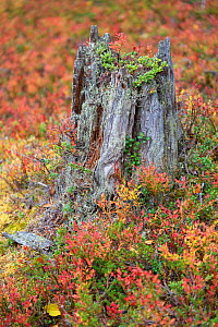 Old tree stump surrounded by autumn colours, Old-growth pine forest, Muddus National Park, Laponia UNESCO World Heritage Site, Norrbotten, Lapland, Sweden September 2020  -  Staffan Widstrand