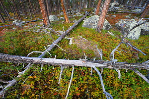 Fallen Scots pines (Pinus sylvestris) and red Blueberry leaves (Vaccinum). Old-growth pine forest in the Stora Sjoefallet National Park, Laponia UNESCO World Heritage Site, Norrbotten, Lapland, Sweden...  -  Staffan Widstrand