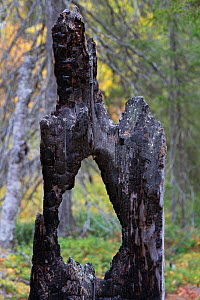 Signs of fire from more than 100 years ago with younger trees in the background. The lichen that looks somewhat like mould on the carbonised, burnt parts is Carbonicola myrmecina. Old-growth pine fore...  -  Staffan Widstrand