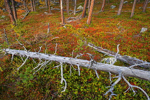 Scots pines (Pinus sylvestris) fallen tree trunk amongst red Blueberry leaves (Vaccinum) in old-growth pine forest in the Stora Sjoefallet National Park, Laponia UNESCO World Heritage Site, Norrbotten...  -  Staffan Widstrand