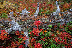 Tree trunk decomposing, covered with red and green vegetation. Old-growth pine forest, Muddus National Park, Laponia UNESCO World Heritage Site, Norrbotten, Lapland, Sweden September 2020  -  Staffan Widstrand