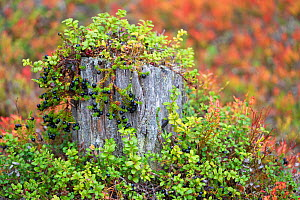 Crowberry (Empetrum nigrum)growing over  100-year-old tree stumps in old-growth pine forest, Muddus National Park, Laponia UNESCO World Heritage Site, Norrbotten, Lapland, Sweden September 2020  -  Staffan Widstrand