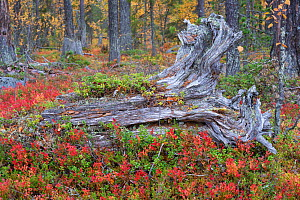 Old tree stumps in old-growth pine forest, Muddus National Park, Laponia UNESCO World Heritage Site, Norrbotten, Lapland, Sweden September 2020  -  Staffan Widstrand