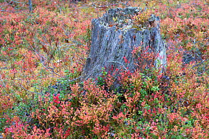 Old tree stump in old-growth pine forest, Muddus National Park, Laponia UNESCO World Heritage Site, Norrbotten, Lapland, Sweden September 2020  -  Staffan Widstrand