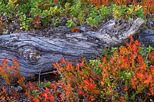 Twisted fallen Scots pine (Pinus sylvestris) tree wood amongst red Blueberry leaves (Vaccinum) Old-growth pine forest in the Stora Sjoefallet National Park, Laponia UNESCO World Heritage Site, Norrbot...  -  Staffan Widstrand