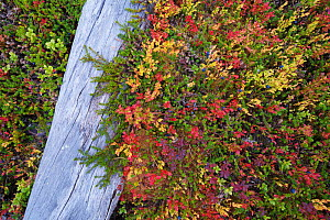 Dead fallen Scots pine (Pinus sylvestris) tree amongst red Blueberry leaves (Vaccinium) in old-growth pine forest in the Stora Sjoefallet National Park, Laponia UNESCO World Heritage Site, Norrbotten,...  -  Staffan Widstrand