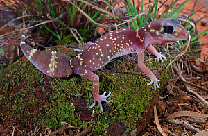 Thick-tailed gecko (Underwoodisaurus milii) female, Ironbark Woodland habitat, Victoria, Australia. Controlled conditions.  -  Robert Valentic