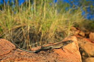 Two-spined rainbow skink (Carlia amax) forages on open rock faces, Boodjamulla NP, NW Queensland. Summer.  -  Robert Valentic