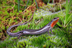 Eastern three-lined skink (Acritoscincus duperreyi) from coastal dunes, Wonthaggi, Bass Coast region of Victoria, Australia. Controlled conditions.  -  Robert Valentic