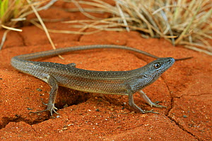 Tussock rainbow skink (Carlia vivax) male from brigalow habitat, Queensland, Australia. Controlled conditions.  -  Robert Valentic