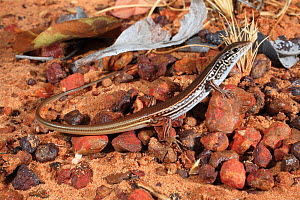 White-faced ctenotus (Ctenotus robustus) juvenile, from tropical savannah woodland near Katherine in the Top End of the Northern Territory, Australia. Controlled conditions.  -  Robert Valentic
