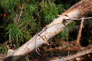Metallic snake-eyed skink (Cryptoblepharus metallicus) from riparian Paperbark Forest near Gregory Downs in the Gulf of Carpentaria, Queensland, Australia.  -  Robert Valentic
