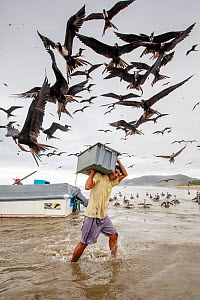 Magnificent frigatebirds (Fregata magnificens) stealing fish from man carrying crate of fish, Puerto Lopez, Ecuador. Highly commended in the Garden and Urban Birds Category of the Bird photographer of...  -  David Pattyn