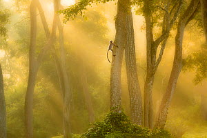 Langur monkey (Semnopithecus) climbing tree in misty forest at dawn, India, November.  -  Ben Hall