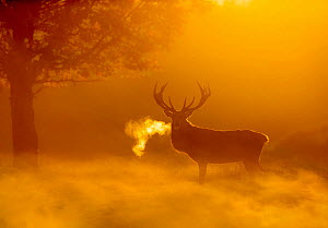 Red deer (Cervus elaphus) backlit at dawn with visible breath. UK. October.  -  Ben Hall