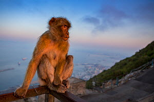 Barbary macaque (Macaca sylvanus) sitting on railing above town and sea at sunrise. Gibraltar Nature Reserve, Gibraltar. August.  -  Mark MacEwen