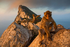Barbary macaque (Macaca sylvanus) on The Rock at sunrise. Gibraltar Nature Reserve, Gibraltar. August.  -  Mark MacEwen