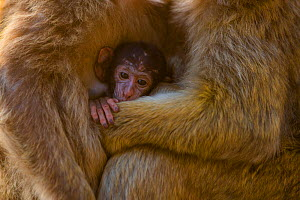 Barbary macaque (Macaca sylvanus) baby sheltering between arms of mother and another adult. Gibraltar Nature Reserve, Gibraltar. August.  -  Mark MacEwen
