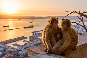 Barbary macaque (Macaca sylvanus), two adults with baby, overlooking town and ships in sea at sunset. Gibraltar Nature Reserve, Gibraltar. August 2018.  -  Mark MacEwen