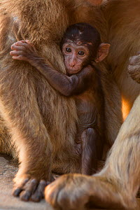 Barbary macaque (Macaca sylvanus) baby holding on to mother. Gibraltar Nature Reserve, Gibraltar. August.  -  Mark MacEwen