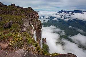 Angel Falls, the world's highest uninterrupted waterfall with a fall of 807m, cloud covered rainforest below. Taken from Auyan-tepui, a flat topped mountain. Canaima National Park, Venezuela. 2018...  -  Mark MacEwen