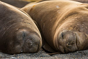 Southern elephant seal (Mirounga leonina), two females sleeping. St Andrews Bay, South Georgia. October.  -  Mark MacEwen