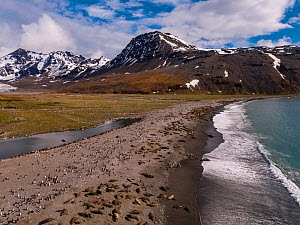 Southern elephant seal (Mirounga leonina) breeding colony on beach with King penguin (Aptenodytes patagonicus) colony inland, mountains in background. Aerial view, St Andrews Bay, South Georgia. Octob...  -  Mark MacEwen