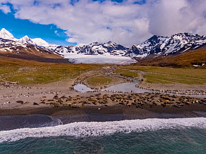 Southern elephant seal (Mirounga leonina) colony on beach with King penguin (Aptenodytes patagonicus) colony beyond. Aerial view, St Andrews Bay, South Georgia. October 2017.  -  Mark MacEwen