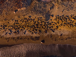 Southern elephant seal (Mirounga leonina) and King penguin (Aptenodytes patagonicus) colonies on beach, aerial view. St Andrews Bay, South Georgia. October 2017.  -  Mark MacEwen