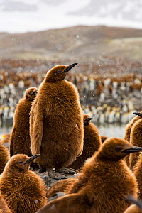 King penguin (Aptenodytes patagonicus) chicks in creche within breeding colony. St Andrews Bay, South Georgia. October 2017.  -  Mark MacEwen