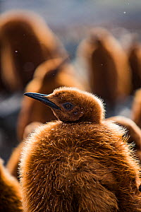 King penguin (Aptenodytes patagonicus) chick in creche within breeding colony, portrait. St Andrews Bay, South Georgia. October.  -  Mark MacEwen