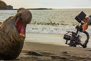 Southern elephant seal (Mirounga leonina) bull on beach with mouth open in aggression towards filming by cameraman Mark MacEwen. Taken on location for BBC Seven Worlds One Planet series. South Georgia...  -  Mark MacEwen