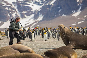 Cameraman Mark MacEwen filming Southern elephant seal (Mirounga leonina) with ready rig, King penguin (Aptenodytes patagonicus) colony and mountains in background. Taken on location for BBC Seven Worl...  -  Mark MacEwen