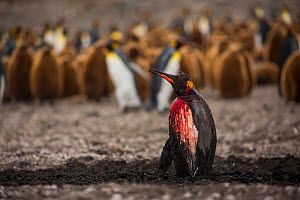 King penguin (Aptenodytes patagonicus) bleeding after attack by Leopard seal (Hydrurga leptonyx), breeding colony in background. St Andrews Bay, South Georgia. November.  -  Mark MacEwen
