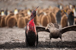 Southern giant petrel (Macronectes giganteus) attacking King penguin (Aptenodytes patagonicus), penguin bleeding after attack by Leopard seal (Hydrurga leptonyx), breeding colony in background. St And...  -  Mark MacEwen