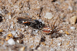 Red-legged spider wasp (Episyron rufipes) female dragging a paralysed Bordered orb-weaver spider (Neoscona adianta) to its nest burrow in a bare sandy patch of heathland, Dorset, UK, July.  -  Nick Upton