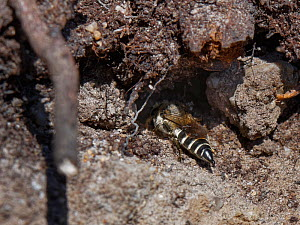 Rufescent sharp-tailed bee (Coelioxys rufescens) entering the nest burrow of a Green-eyed flower bee (Anthophora bimacuata) a host species for its larvae, in a sandy bank on heathland, Dorset, UK, Jul...  -  Nick Upton