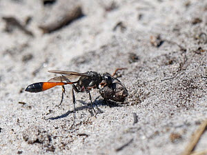 Heath sand wasp (Ammophila pubescens) positioning a small stick in the entrance to its nest burrow to exclude parasites while it hunts for more caterpillars to feed its larvae, Dorset heathland, UK, J...  -  Nick Upton