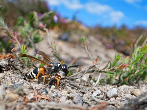 Purbeck mason wasp (Pseudepipona herrichii) female emerging from its nest burrow in a bare patch of sandy clay in heathland, Dorset, UK, July. This endangered species is one of the rarest invertebrate...  -  Nick Upton