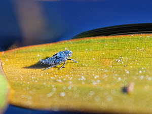 Pondweed leafhopper (Erotettix cyane) nymph resting on a leaf of Broad-leaved pondweed (Potamogeton natans), its sole host plant in a heathland pond, Dorset, UK, June. This tiny insect is one of the U...  -  Nick Upton
